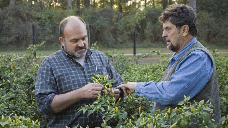 Harold Osborn and Gary Paul Nabhan examine ripening Tabasco peppers on Avery Island, Louisiana.