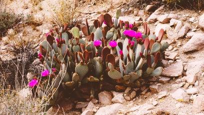 Beavertail cactus.