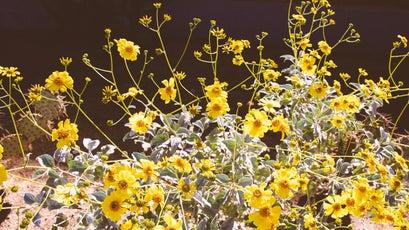 Yellow brittlebrush.