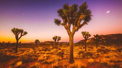 A grove of Joshua trees.