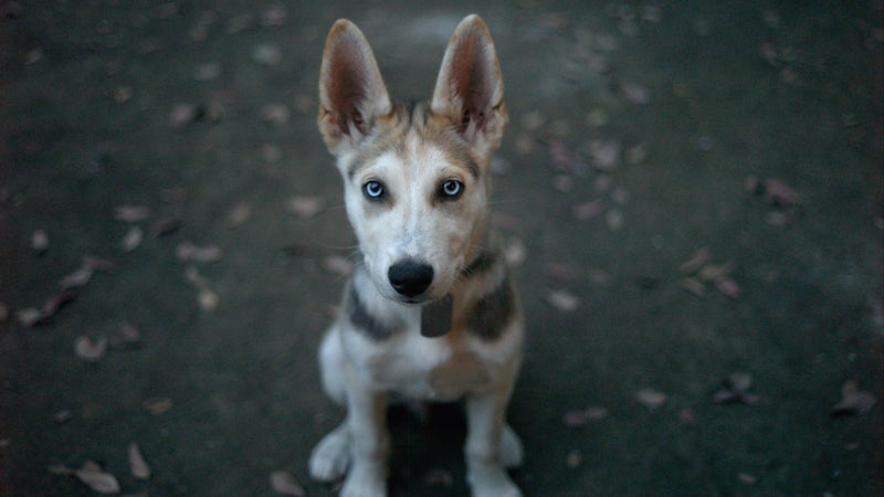 Bowie's a German Shepherd/Siberian Husky rescue, or in proper dog parlance, a mutt. So's our other dog, Wiley.