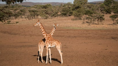 Rare reticulated giraffe on the Mugie conservancy.
