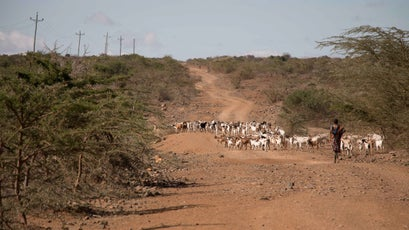 A herder drives livestock on a road in Laikipia.