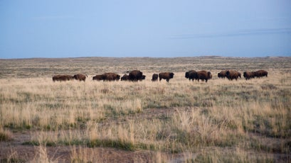 Bison transplanted from Yellowstone National Park on the American Prairie Reserve near Malta, Montana.
