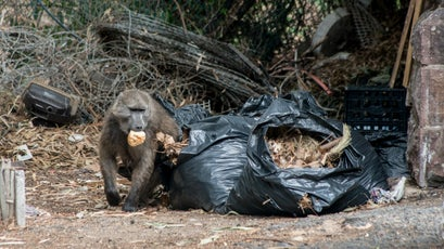 A mother baboon steals a biscuit from trash bags.