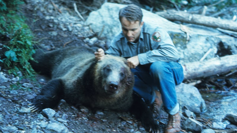 """Glacier National Park ranger Bert Gildart with a grizzly bear that had been shot after the """"night of the grizzlies."""""""