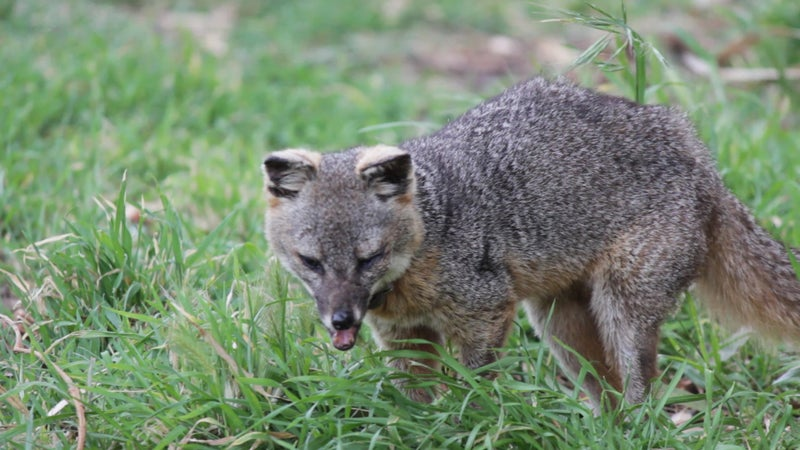 It's often the older, injured foxes that end up hanging around camp the most, because humans are their easiest source of food. But the genetic pool for the Santa Cruz fox is very limited, and it's starting to show.