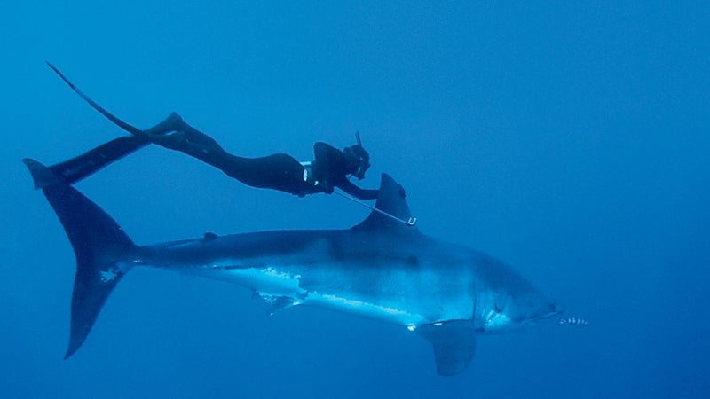Swimming with a great white in Baja.