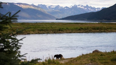 A brown bear hunts along the bank of the Chilkat River. Droves of sockeye salmon spawn in the Chilkat watershed, sustaining thriving populations of brown bear, moose, and bald eagles, who in turn fertilize the surrounding rainforest with nutrients.