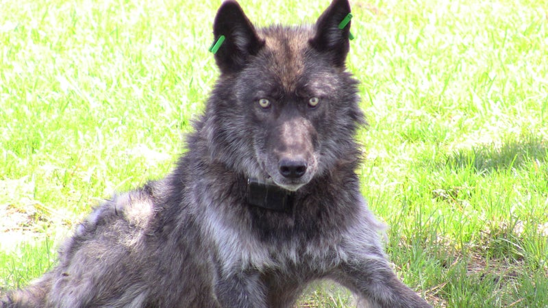 OR4, the Imnaha wolf pack's alpha male, after being refitted with a working GPS collar on May 19, 2011.