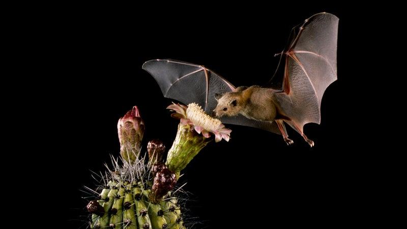 A Merlin Tuttle photograph of a Lesser long-nosed bat pollinating an organ pipe cactus.