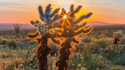 Cholla cactus back-lit by morning sun at Yaqui Meadows.