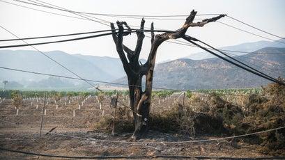 A tree burned by the Thomas Fire off Highway 150 near Santa Paula, December 8, 2017.