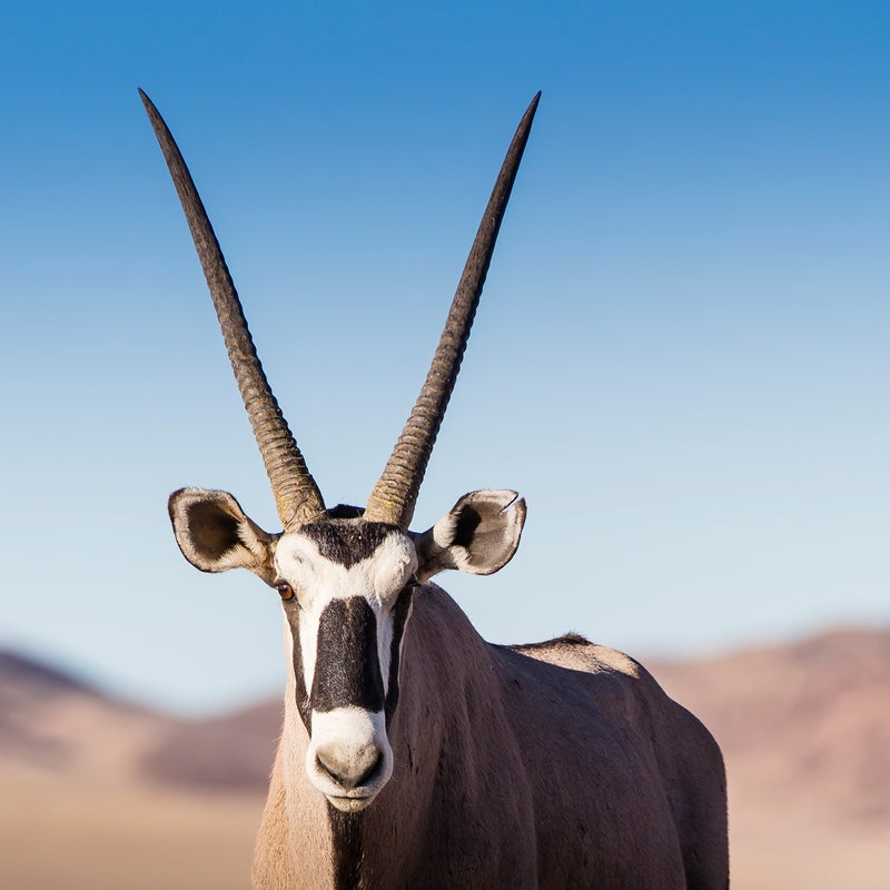 The masked face of an oryx in Namib-Naukluft National Park.