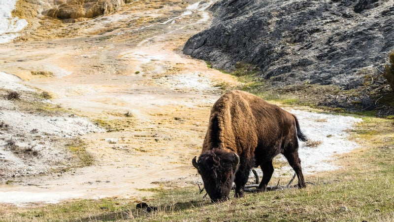 Yellowstone National Park is home to bison, wolves, elk, moose, and bears.