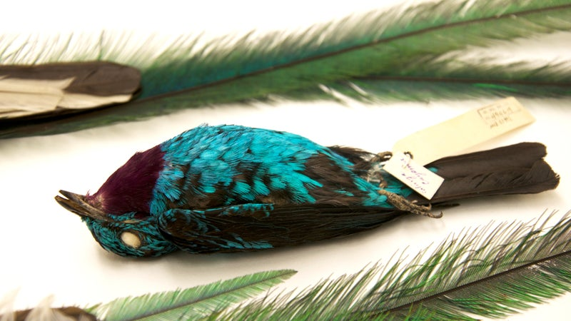 The Spangled Cotinga (Cotinga cayana), or 'blue chatterer' in the fly-tying world, is one of the main species that Rist targeted in his theft of London's Tring Natural History Museum. Photographed at the Museum of Southwestern Biology, Albuquerque.