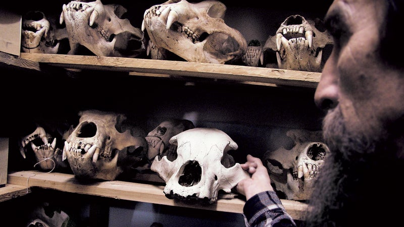 Memento mori: a Kronotsky Reserve biologist measures 30 years of Kamchatkan brown bear skulls, many of them poached