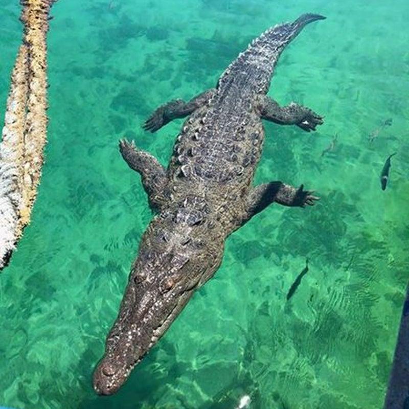 The 10-foot American crocodile that bit Márquez.