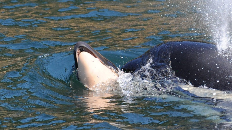 Tahlequah, or J35, carried her dead newborn calf for 17 days and 1,000 miles