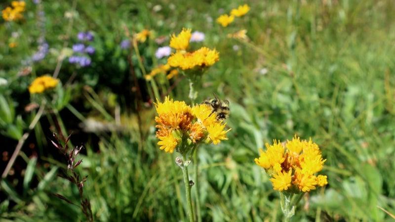 A bee on Sierra butterweed above Grace Meadow in Falls Creek.