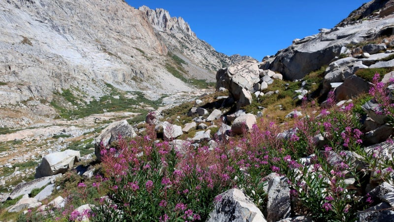 Fireweed in upper Stubblefield Canyon.