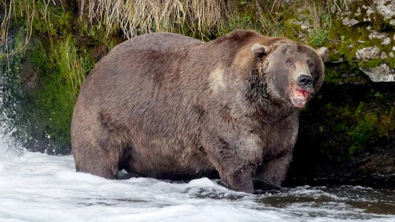 Otis, otherwise known as bear 480.