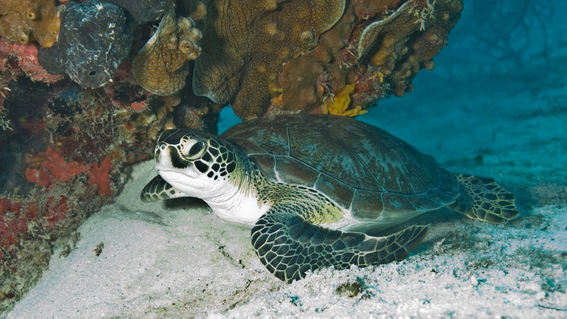A green sea turtle in Key Biscayne National Park