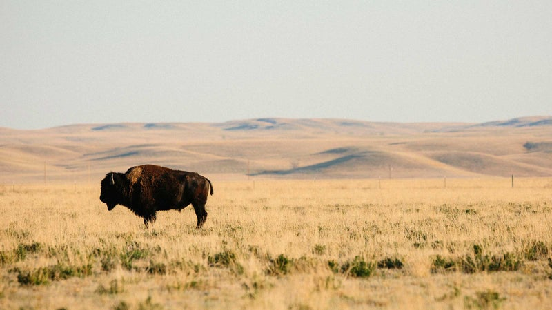 A grass-fed, free-range Wild Idea buffalo in South Dakota