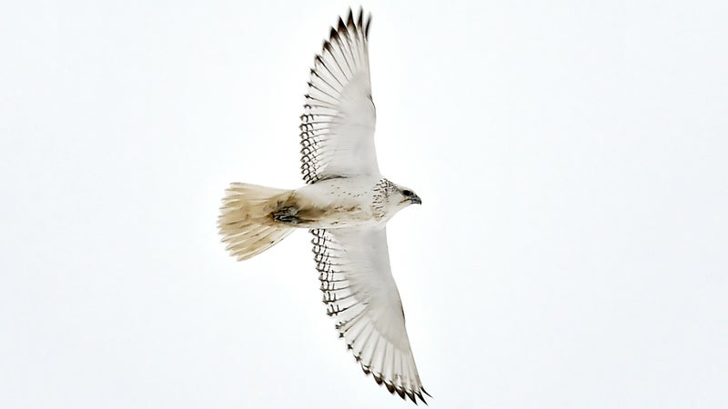 A gyrfalcon in the Canadian Arctic