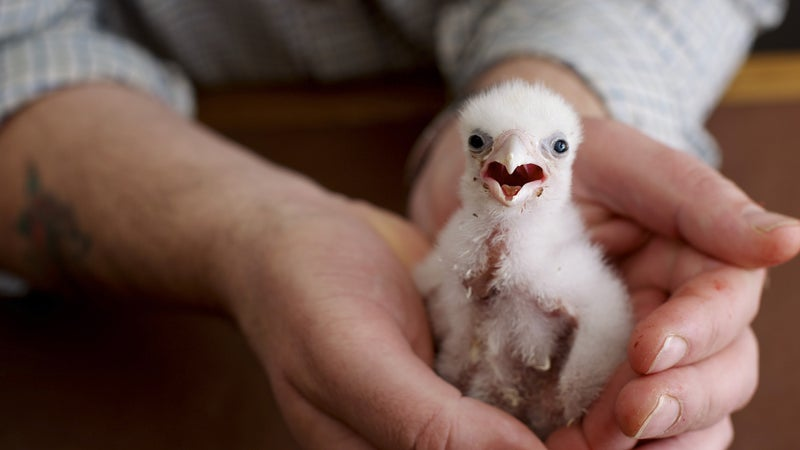 A peregrine hatchling from one of Jeffrey Lendrum's eggs