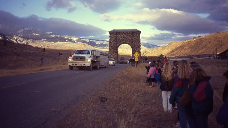 National Park Service transporting Canadian Wolves into Yellowstone National Park at Gardiner, Montana, for re-introduction in January 1995.