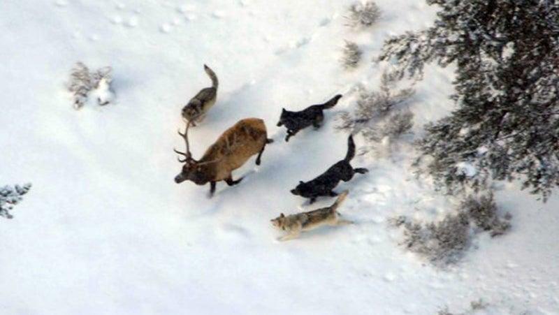 wolves chasing bull elk in snow