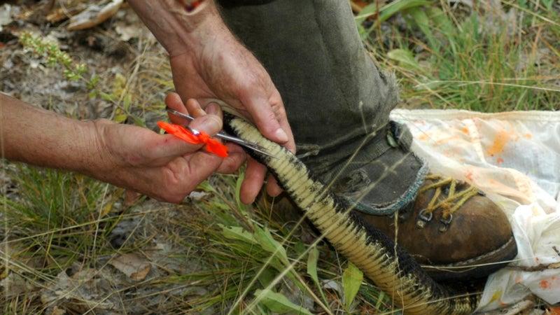 Brown marking a rattlesnake