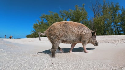 A swimming pig