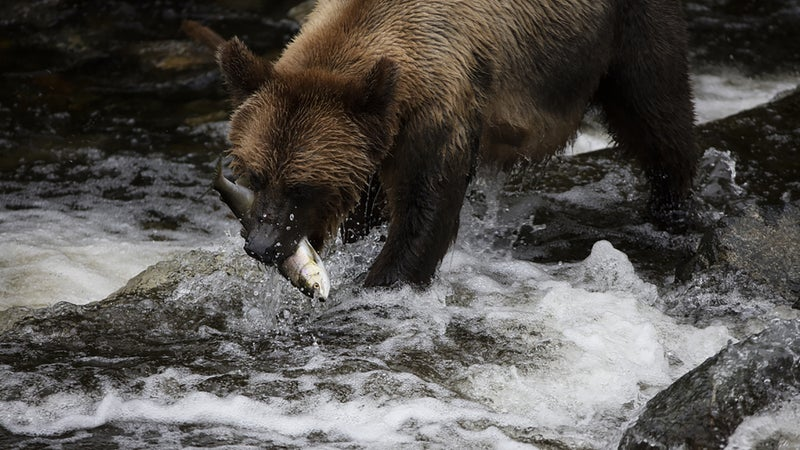 A Grizzly Bear catching a salmon at Knight Inlet.