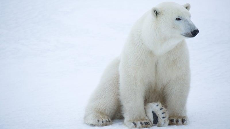 A polar bear at rest