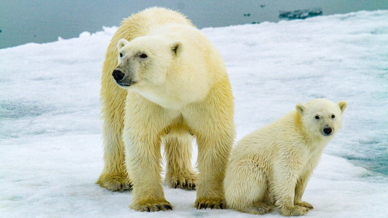 A mother and her cub on sea ice. While it's the loss of its ice that threatens the outright survival of the species, it's how many polar bears we're able to save right now which determines the chance they'll have if we are able to reverse climate change.