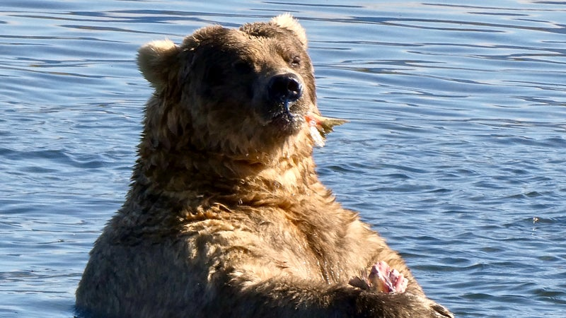 There is subcutaneous fat enough to go around; may all this year's competing bears proudly heft it for the camera.