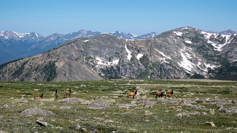 A herd of cow elk at Sprague Pass, just off the Continental Divide Trail