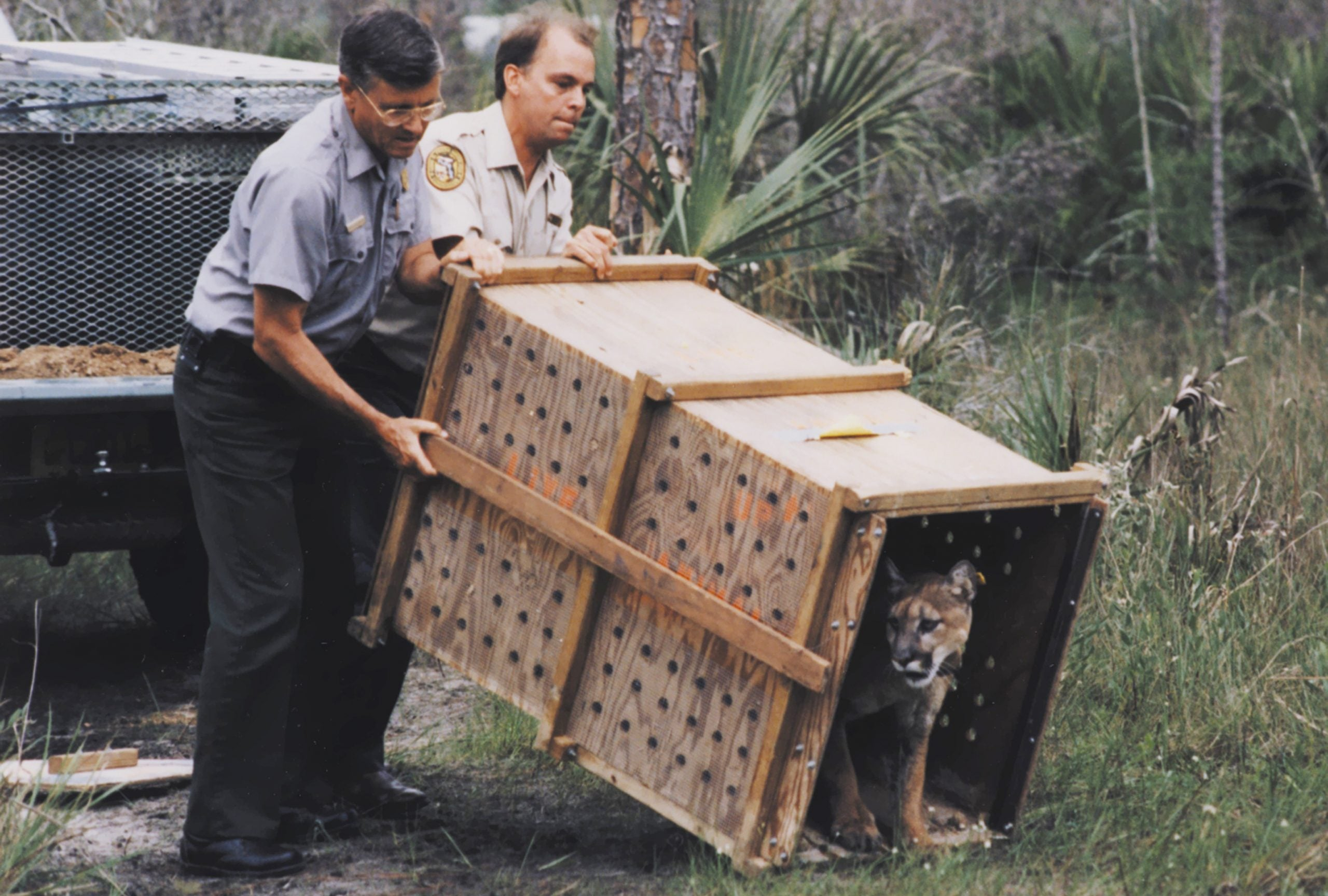 Roy McBride captured eight female Texas cougars to be turned loose in Florida to breed with panthers. The cougars' release into the wild, seen here, was basically a Hail Mary pass in 1995.