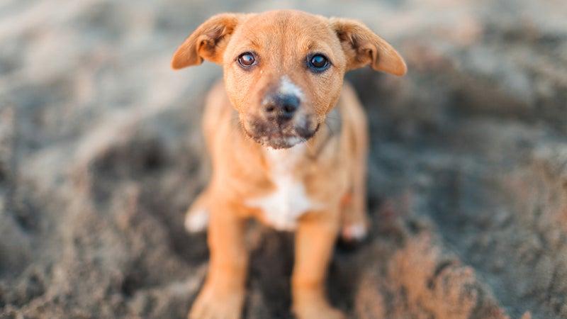Puppy Posing On A Beach