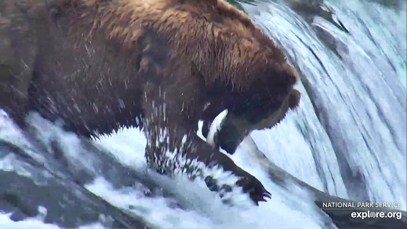 A shot of a bear catching a fish from the Bear Cam Snapshot Contest on Explore