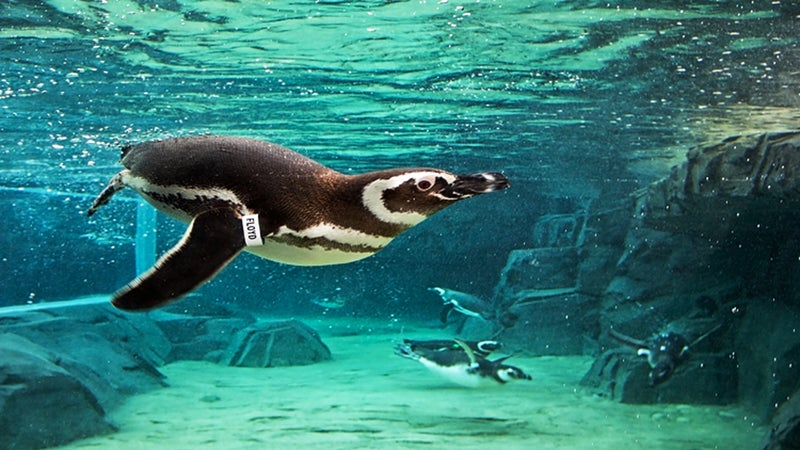A screenshot from an Aquarium of the Pacific webcam of a penguin swimming