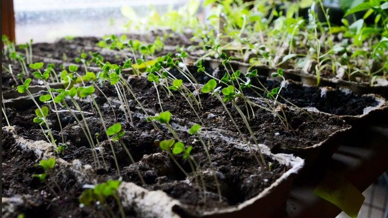 Seedlings from the 2020 Ketcham vegetable garden.