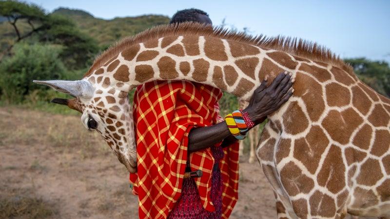 Wildlife keeper Lekupinai is nuzzled by Twiga, an orphaned giraffe in the Namunyak Wildlife Conservancy in northern Kenya.
