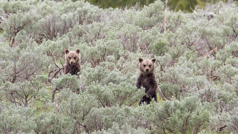 Grizzly cubs in Yellowstone. If you put in a little research and ask rangers for help, you really can see awesome things like wild animals on your very first visit.