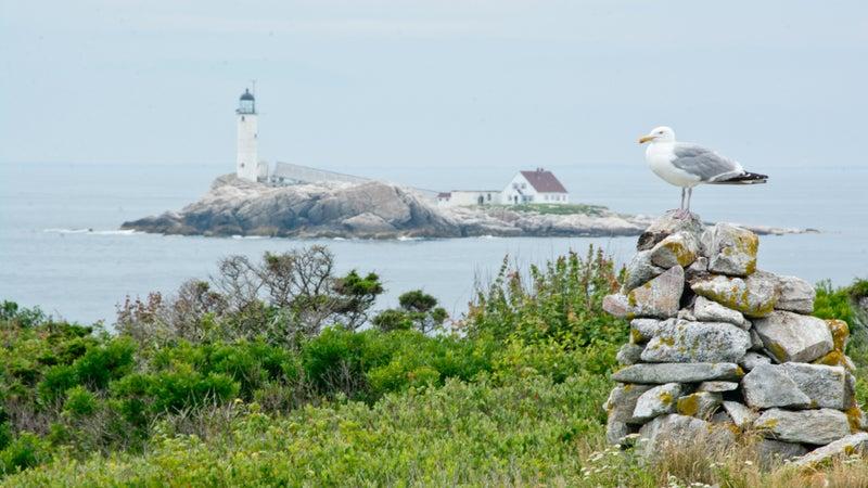 Herring gull in front of White Island