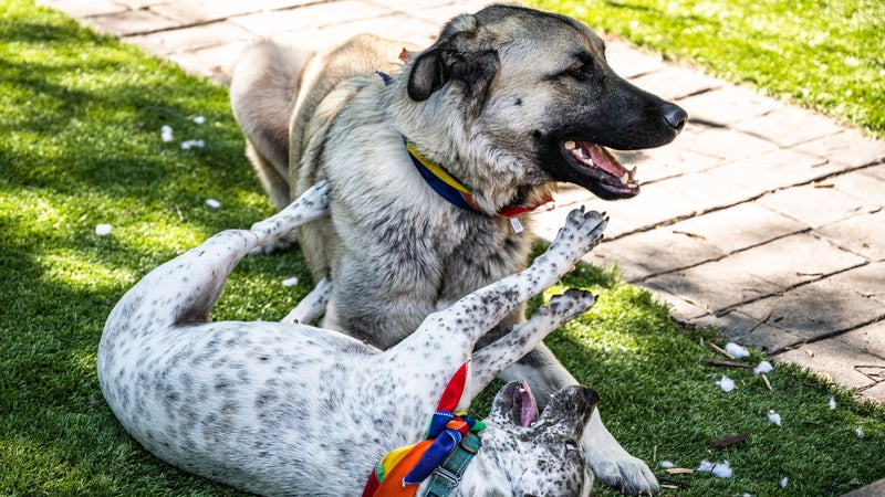Kit and Teddy playing in my backyard. Anatolian shepherds have the strongest bite force of any dog breed; it's pretty amazing to see one playing gently with a little buddy.