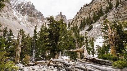Gnarled bristlecones near Wheeler Peak