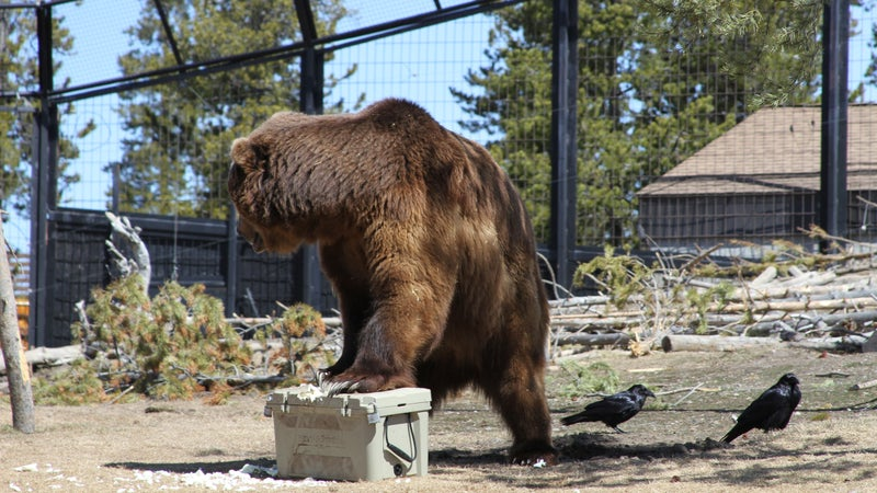 Sam, a 1,050-pound grizzly bear, tests a cooler at the Grizzly & Wolf Discovery Center